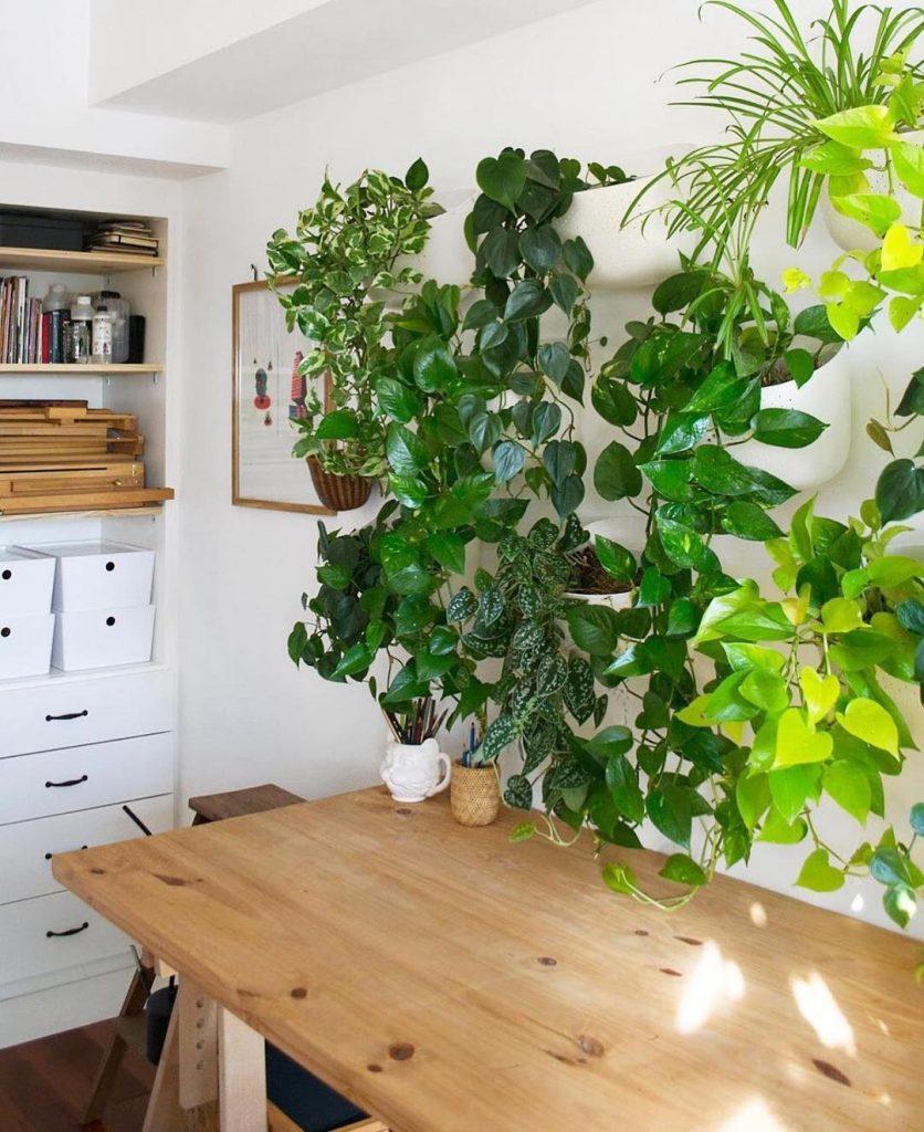 Devils Ivy Indoor Plant - home renovations tip